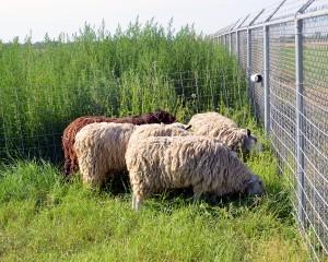grazing kochia